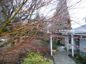 2015-02_JAPANESE MAPLE