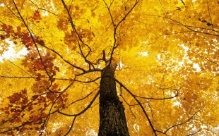 Tree Leaves Golden Autumn Gold Fall Picture Gallery
